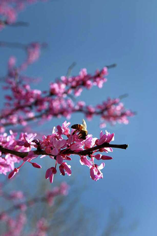 A bee is busy moving from bloom to bloom in Kendall County on March 20, 2008. Photo: GLORIA FERNIZ, Express-News File Photo / SAN ANTONIO EXPRESS-NEWS