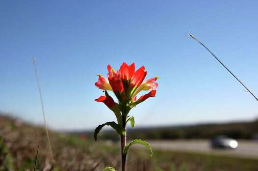 Varying in color from orange and scarlet to cream and yellow, Indian paintbrushes are springing up in the dry grass along Interstate 10 near Boerne on March 20, 2008. Photo: GLORIA FERNIZ, Express-News File Photo / SAN ANTONIO EXPRESS-NEWS