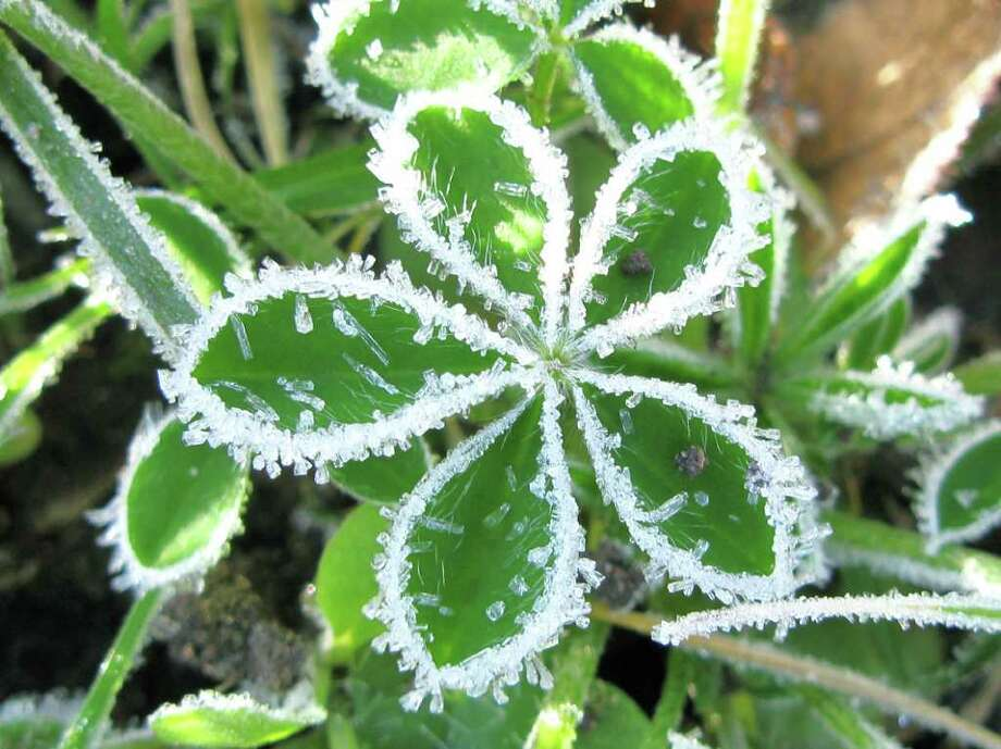 A young bluebonnet was lined with ice crystals during a 2009 freeze. Photo: Orrest M. Mims III, Express-News File Photo