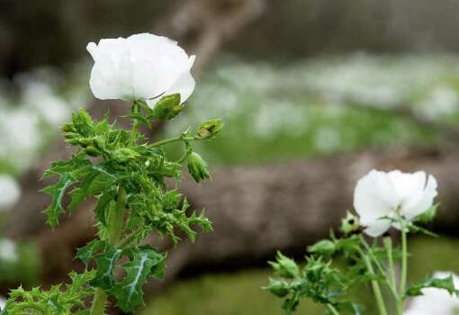 White prickly poppies grow along a fence line on FM 140 south of San Antonio on March 16, 2010. Photo: BILLY CALZADA, Express-News File Photo / gcalzada@express-news.net