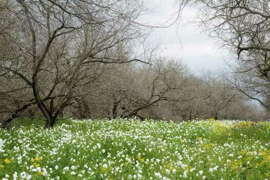 Wildflowers are blooming near U.S. 281-A South at FM 140 on March 16, 2010. Photo: BILLY CALZADA, Express-News File Photo / gcalzada@express-news.net
