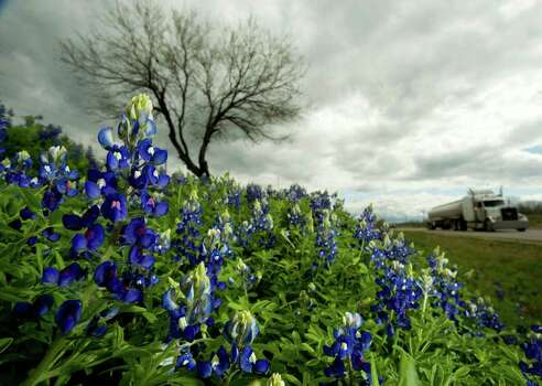 Bluebonnets line Texas 16 near Christine, about 70 miles south of San Antonio, on March 16, 2010. Photo: BILLY CALZADA, Express-News File Photo / gcalzada@express-news.net