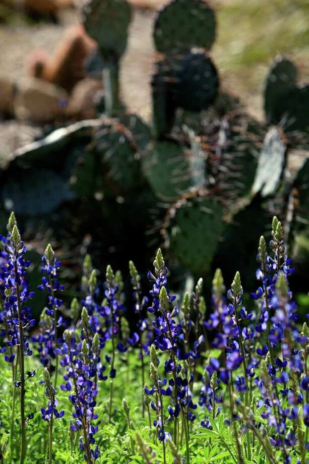 Bluebonnets bloom next to prickly pear cacti at the Barton Warnock Center at Big Bend Ranch State Park on March 1, 2010. Photo: JOHN DAVENPORT, Express-News File Photo / jdavenport@express-news.net