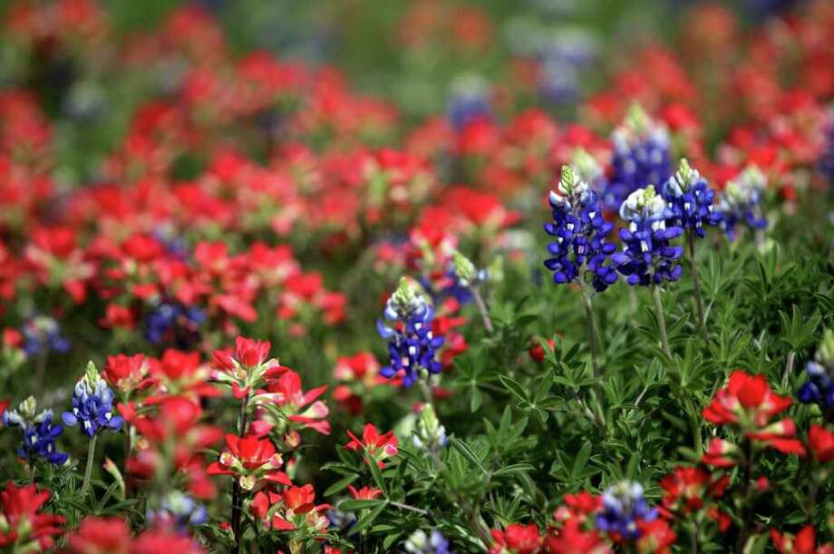 Bluebonnets standout against a sea of Indian paintbrushes near Northwest Drive in Fredericksburg on April 2, 2010. Photo: BOB OWEN, Express-News File Photo / rowen@express-news.net