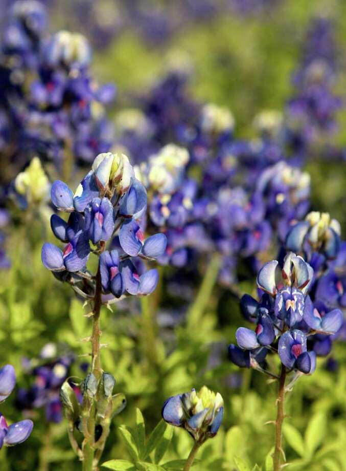 Bluebonnets bloom near the intersection of Southcross and Maurine on March 19, 2010. Photo: HELEN L. MONTOYA, Express-News File Photo / hmontoya@express-news.net