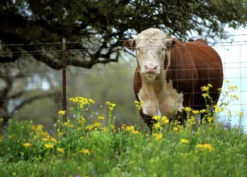 A cow stands amid wildflowers near Poth on March 16, 2010. Photo: BILLY CALZADA, Express-News File Photo / gcalzada@express-news.net