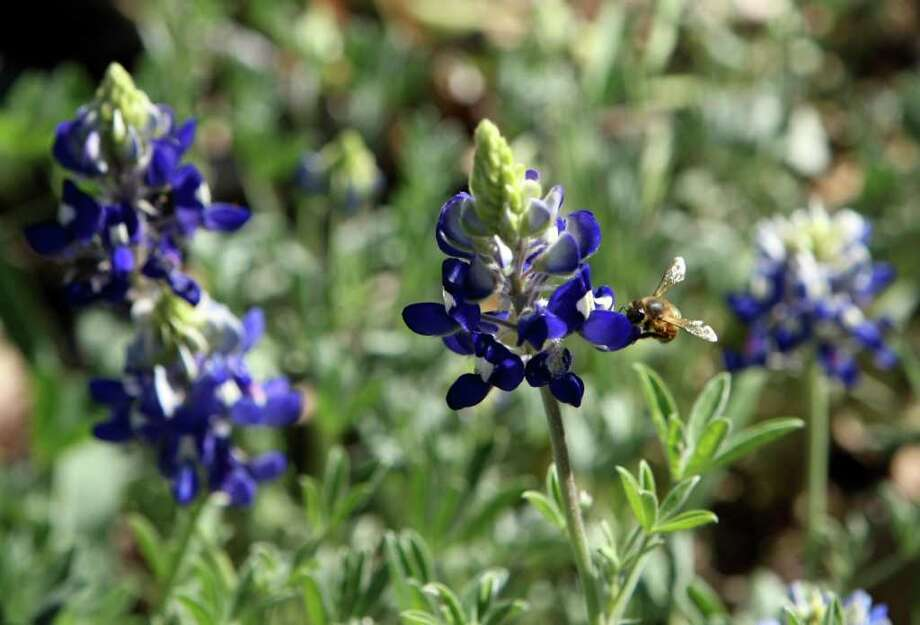 A bee pollenates bluebonnets at St. Mary's University on March 10, 2011. Photo: HELEN L. MONTOYA, Express-News File Photo / SAN ANTONIO EXPRESS-NEWS