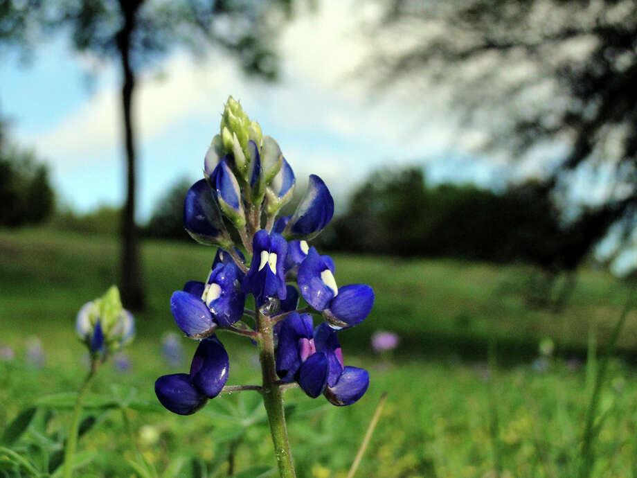 Raindrops cling to bluebonnet blossoms along Loop 337 in New Braunfels on Sunday, March 11, 2012. After good, soaking rains, the state flower should pop with sunshine this week. Photo: Tracy Hobson Lehmann, San Antonio Express-News