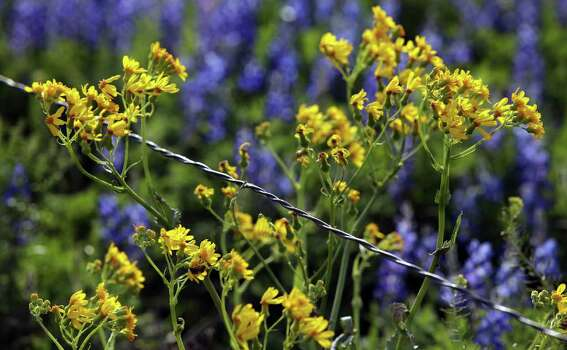 Yellow wildflowers bloom along a fence line against a sea of bluebonnets at the Garza home on U.S. 181, just north of Floresville, on Tuesday, March 13, 2012. Photo: BOB OWEN, San Antonio Express-News / © 2012 San Antonio Express-News
