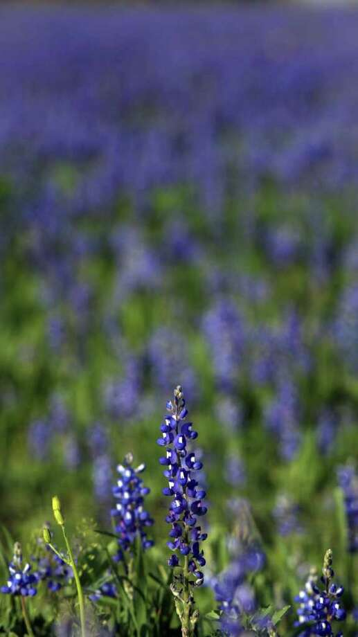 Bluebonnets are seen at the Garza home on U.S. 181, just north of Floresville, on Tuesday, March 13, 2012. Photo: BOB OWEN, San Antonio Express-News / © 2012 San Antonio Express-News