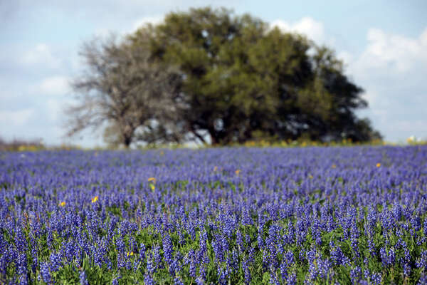 Bluebonnets are seen at the Garza home on U.S. 181, just north of Floresville, on Tuesday, March 13, 2012.