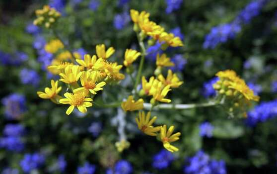 A yellow wildflower stands tall above a field of bluebonnets at the Garza home on U.S. 181, just north of Floresville, on Tuesday, March 13, 2012. Photo: BOB OWEN, San Antonio Express-News / © 2012 San Antonio Express-News