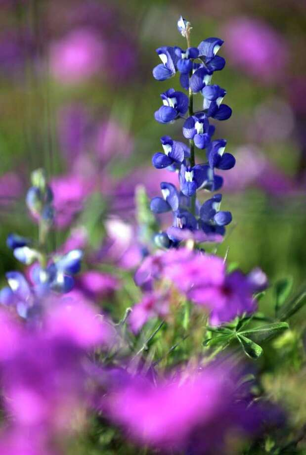 A lone bluebonnet stands above a sea of purple in a field of wildflowers off U.S. 181 near Shannon Ridge Drive in Wilson County, not far from Floresville on Tuesday, March 13, 2012. Photo: Bob Owen, San Antonio Express-News / © 2012 San Antonio Express-News