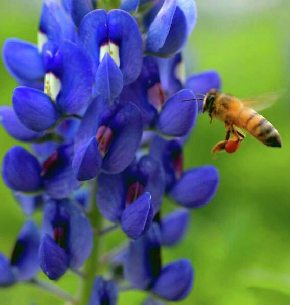A bee lands on a bluebonnet along the Mission Reach portion of the San Antonio River on Tuesday, Mar