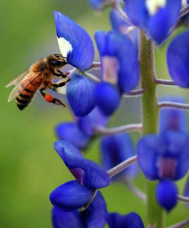 A bee lands on a bluebonnet along the Mission Reach portion of the San Antonio River on Tuesday, March 13, 2012. Photo: William Luther, San Antonio Express-News / © 2012 San Antonio Express-News