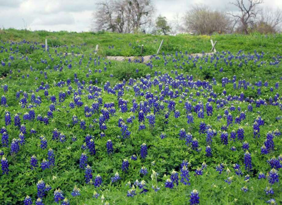 Bluebonnet bloom along the Mission Reach portion of the San Antonio River on Tuesday, March 13, 2012. Photo: William Luther, San Antonio Express-News / © 2012 San Antonio Express-News