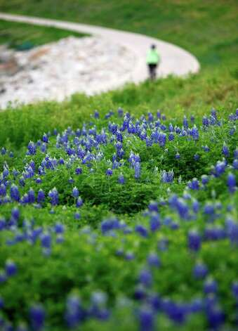 Bluebonnet bloom along the Mission Reach portion of the San Antonio River as a cyclist passes on Tuesday, March 13, 2012. Photo: William Luther, San Antonio Express-News / © 2012 San Antonio Express-News