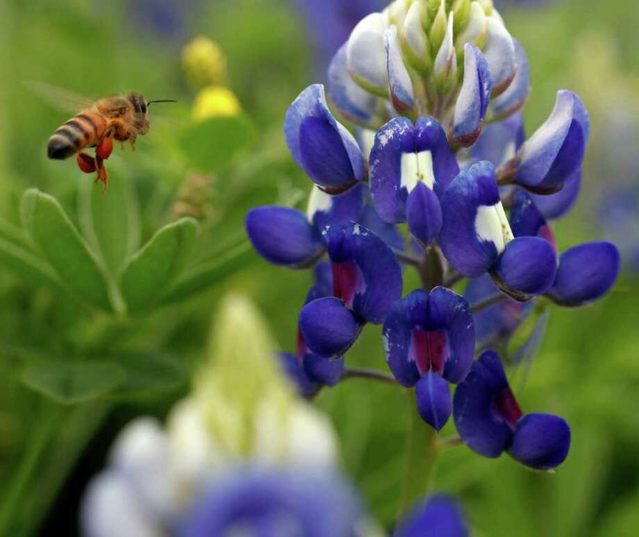 A bee attempts to land on a bluebonnet along the Mission Reach portion of the San Antonio River on Tuesday, March 13, 2012. Photo: William Luther, San Antonio Express-News / © 2012 San Antonio Express-News