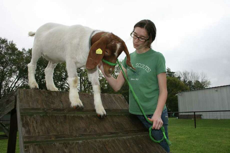 Catherine Rutan, a tenth-grader at Spring High School, encourages Gilbert, her boar goat, to walk down a ramp for exercise at the Spring High agriculture barn. Rutan plans to show her animal at the upcoming Spring Tri-Club Show and Sale. Photo: Bryan Kirk