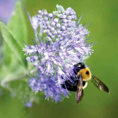 "<b>Invite bees into your garden:</b> Before a flower can set seed or form fruit, it needs to be pollinated. Most of the work is done by bees. However, bees are in serious trouble. Their numbers are in sharp decline, mainly because of shrinking habitat, but home gardeners can help; <a href=""http://www.sunset.com/garden/earth-friendly/give-bees-chance-00400000029081/"">learn how here</a>.  <br style=""clear:both;"" /><a href=""http://www.sunset.com"" target=""_blank"" class=""sunsetlogo""><img src=""http://imgs.sfgate.com/graphics/partners/sunset/sunset_logo.gif"" alt=""Sunset"" border=""0""/></a> Photo: Elizabeth Jardina, Sunset.com"
