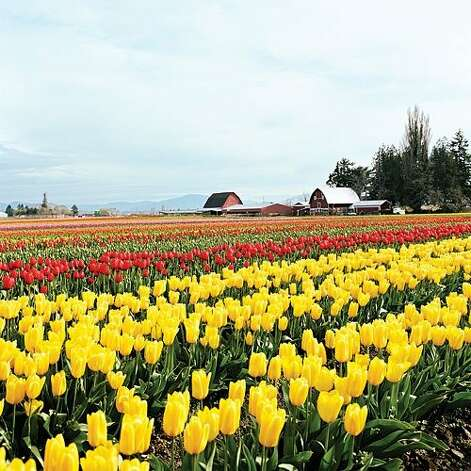 "<b>Twirl around tulip fields:</b> Spring is the right time to catch Skagit Valley's colorful crop of tulips in bloom. Celebrate at the area's annual tulip festival, then rent a bike and take to the road, exploring the valley while stopping for photo ops of the rainbow-striped flowering fields before you. <b>Read more:</b> <a href=""http://www.sunset.com/travel/outdoor-adventure/spring-getaways-00418000070786/?xid=sfg-sunset-030112"">23 places to welcome spring</a> <br style=""clear:both;"" /><a href=""http://www.sunset.com"" target=""_blank"" class=""sunsetlogo""><img src=""http://imgs.sfgate.com/graphics/partners/sunset/sunset_logo.gif"" alt=""Sunset"" border=""0""/></a> Photo: Jos  Mandojana, Sunset.com"
