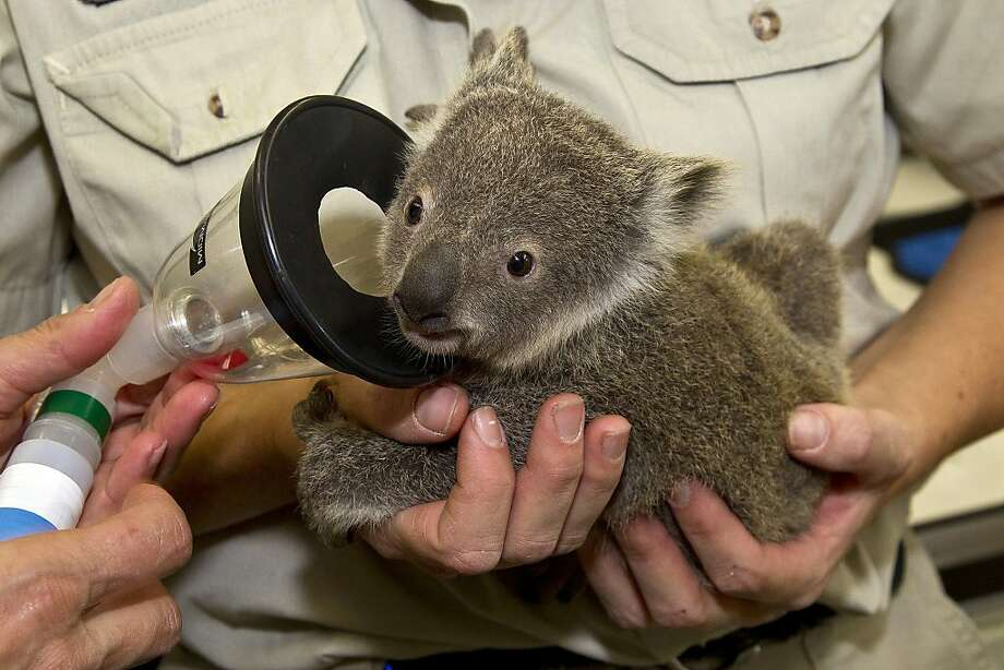 This image provided by the San Diego Zoo shows a koala joey named Milo experiencing his first full veterinary exam at the San Diego Zoo's veterinary hospital Wednesday March 14, 2012 in San Diego. The youngster, who is only just recently out of his mother's pouch, was anesthetized so doctors could X-ray and examine him thoroughly.  Once the short exam was over, the joey was returned, fully awake, to his mother. The San Diego Zoo's koala colony is the largest group of this species outside of Australia. (AP Photo/San Diego Zoo, Ken Bohn) Photo: Ken Bohn, Associated Press