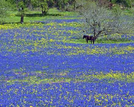 Wildflower enthusiast Rich Olivieri, editor of WildflowerHaven.com, captured a horse in a field of bluebonnets at Texas 16 and Jett Road, about 10 miles north of Poteet. Photo: Rich Olivieri, Ho / handout / SAEN files