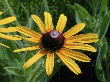 Texas Wildflowers -  Black-eyed Susan    (Rudbeckia hirta) Photo: Joseph A. Marcus, Ho / handout