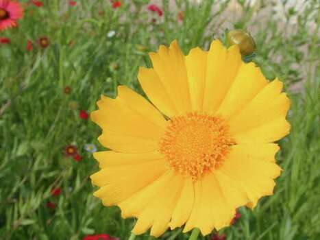 Texas Wildflowers - Lanceleaf Tickseed (Coreopsis lanceolata) Photo: Joseph A. Marcus, Ho / handout