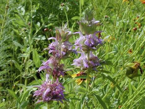 Texas Wildflowers. Lemon beebalm    (Monarda citriodora) Photo: Joseph A. Marcus, Ho / handout