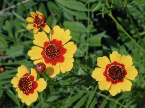Texas Wildflowers - Goldenwave  (Coreopsis tinctoria ) Photo: Joseph A. Marcus, Ho / handout