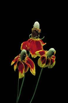 Texas State wildflower - Mexican Hat (Ratibida Columnifera) Photo: Tom Fox, Ho / handout