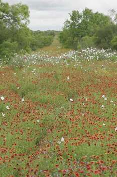 An ocean of wildflowers - Indian blanket, prickly poppy and vervain - floods a South Texas sendero this past weekend. Spring turkey hunters, who have seen back-to-back wildflower-poor years caused by persistent drought, are enjoying the explosion of vegetation triggered by this year's wet conditions. Photo: Shannon Tompkins, Ho / Houston Chronicle