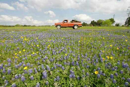 A red truck passes by  Bluebonnets in a median on Highway 6 between Navasota and Hempstead Thursday, afternoon March 30,2006.(BILLY SMITH II/STAFF) Photo: Billy Smith II, Ho / Houston Chronicle