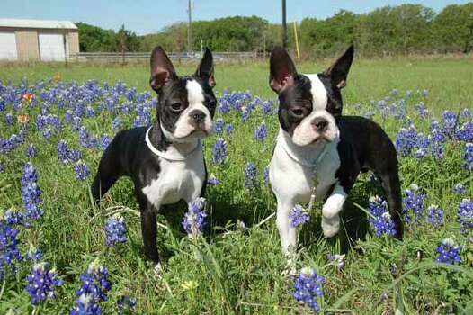 ANNIE AND BOOTS: Diane Cooper submitted this photo of Annie and Boots enjoying a spring day in Texas. Photo: Ho / handout