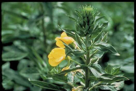 Texas Wildflowers - Fluttermill       (Oenothera macrocarpa} Photo: Jack Bodger, Ho / handout