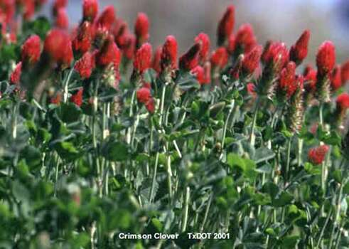 Crimson Clover TxDOT 2001 Photo: Ho / handout