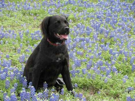 Champ, our 3-legged rescue dog, in the bluebonnets near Brenham. Owners: Carolyn Gay & Annette Beall Cypress, Texas Photo: Ho / handout