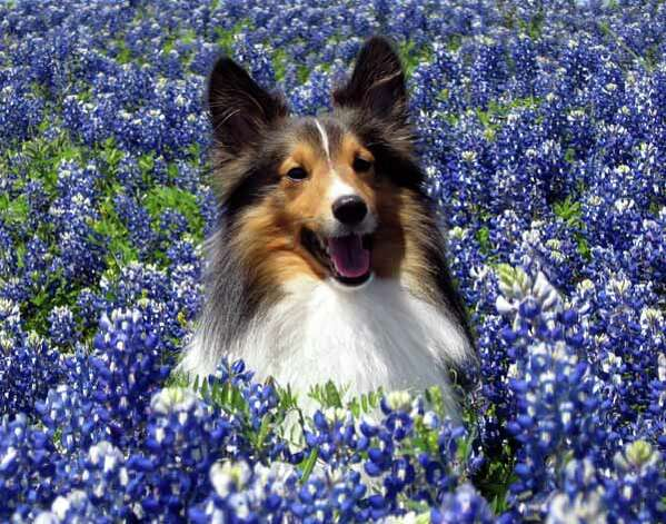 Online reader Norman Rowsey shared this picture of his dog Luke in a patch of wildflowers behind a Wal-Mart in Brenham. Photo: Norman Rowsey, Ho / handout
