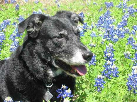 Woodrow in bluebonnets at Ellinger, Texas. Owner Bette2 Photo: Ho / handout