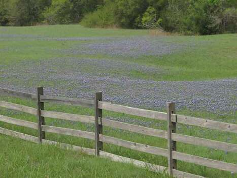 Bluebonnets near Old Baylor Park.  on 3-29-/11. Photos by Kathy Huber Photo: Ho / DirectToArchive