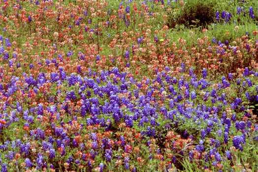 CONTACT FILED:  WILD FLOWERS-TEXAS.    (ROLL/CONTACT 1) A mix of wildflowers grow along Tommelson Creek Road and FM 2935 just outside of Brenham, in Washington County.  04/06/2001  (E. Joe Deering/Chronicle). Photo: E. Joseph Deering, Ho / Houston Chronicle