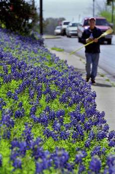 CONTACT FILED:  BLUEBONNETS  3/27/03--Dan Barry �cq> of New Ulm, Texas, checks the sidewalk for cut grass after mowing around Mr. and Mrs. Alvin Kasporwitz's bluebonnets Tuesday afternoon, March 27, 2003, in Brenham, Texas.  (Kevin Fujii/Chronicle).     HOUCHRON CAPTION (03/28/2003): Dan Barry of New Ulm sweeps up after mowing around a patch of bluebonnets at Alvin Kasporwitz's   home in Brenham on Tuesday. Photo: Kevin Fujii, Ho / Houston Chronicle