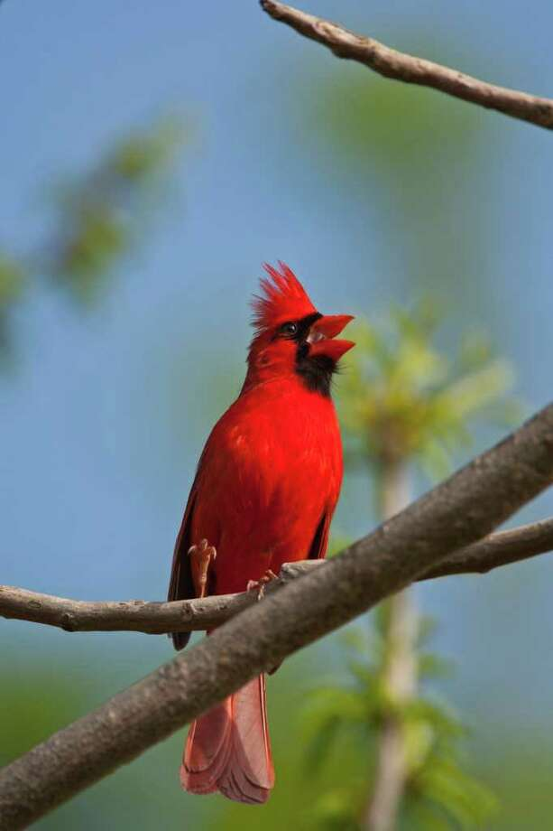 The song of the northern cardinal rings through area neighborhoods all year but with gusto in the early spring. Photo: Kathy Adams Clark / Kathy Adams Clark/KAC Productions