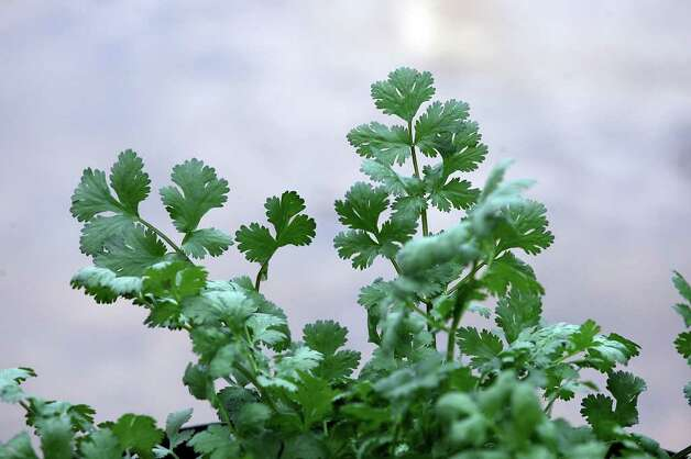SA LIFE - Besides vegetables, herbs such as cilantro, are grown in the community garden in Gonzalez, Texas, Friday, March 11, 2012. Cynthia Green, nutritionist with the Women, Infants and Children Program, (WIC), in Gonzales, Texas, is teaching clients of the program planting skills. The class aims to teach the women of the program how to grow and eat healthy vegetables. Jerry Lara/San Antonio Express-News Photo: Jerry Lara / © San Antonio Express-News