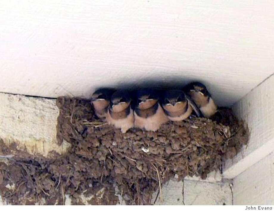 Barn swallow babies. Photo by John Evans Photo: John Evans