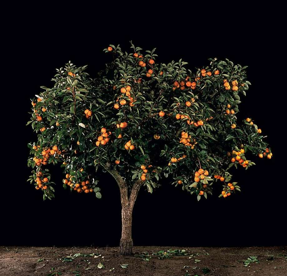 Tal Shochat, Afarsemon (Persimmon) (from a series along with Afarsek (Peach), Shaked (Almond), Tapuach (Apple), and Rimon (Pomegranate)), 2011. C-prints, 16.5 x 17 in. Collection of Gary B. Sokol. Photo courtesy of Andrea Meislin Gallery, New York. Photo: Andrea Meislin Gallery