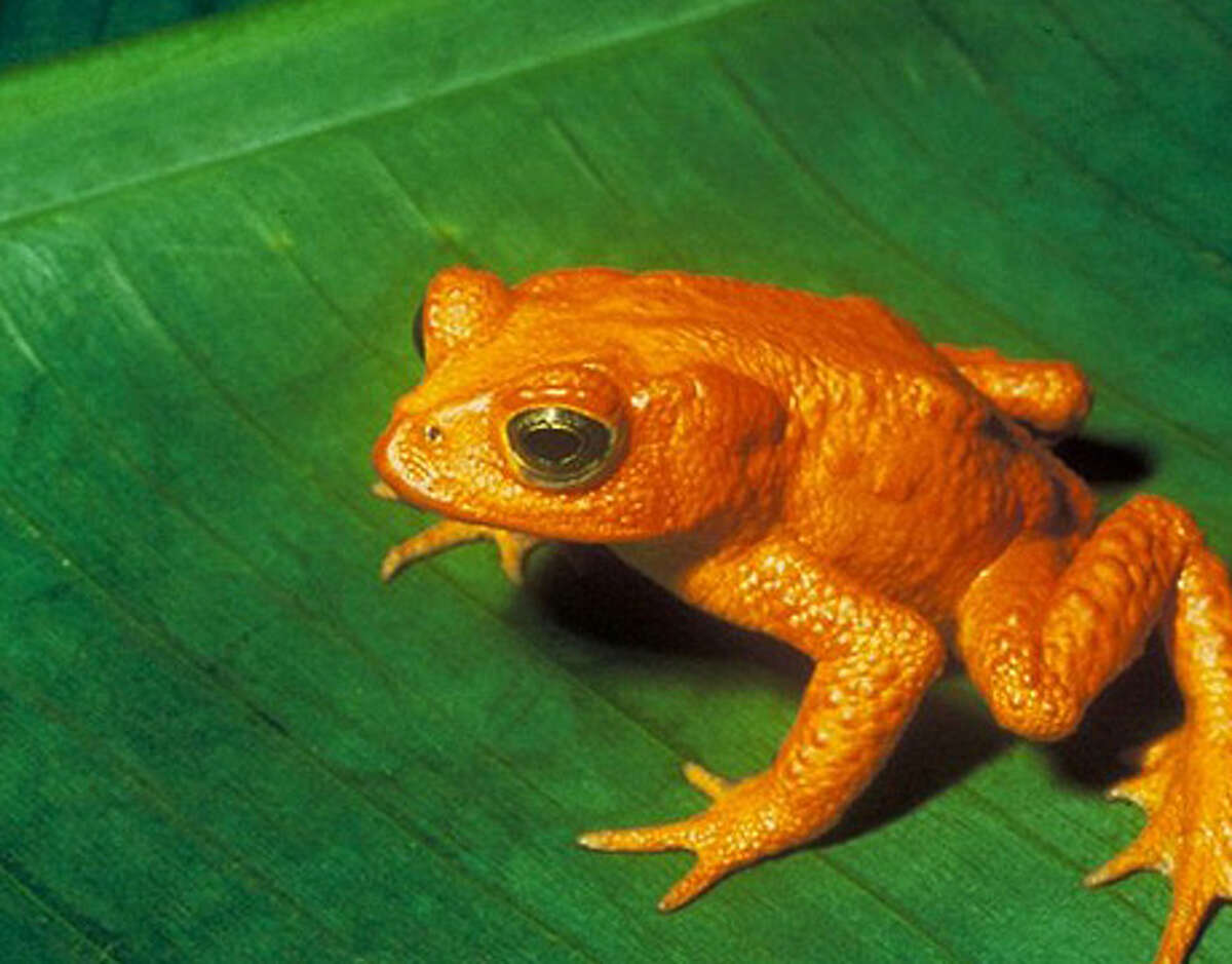 The golden toad is not the only species to disappear in the past 40 years, but it might just be the brightest. This fluorescent amphibian was found in the high-altitude ridges of Costa Rica, but thanks to pollution, global warming and fungal skin infections, the species became extinct in 1989. Read on to find out about 10 other incredible species we've lost in the last several decades. Reprinted with Permission of Hearst Communications, Inc. Originally Published: Extinct in Our Lifetime - 11 Species We've Lost Forever Charles H. Smith / U.S. Fish and Wildlife Service