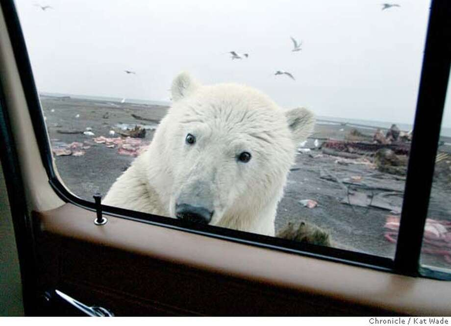 A polar bear cub stops feeding to greet visitors on Barter Island, a barrier island just off the North Slope coast. Kat Wade / The Chronicle Ran on: 01-15-2006 Photo: Kat Wade