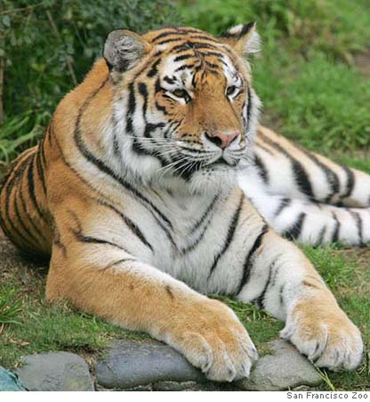 Tatiana the tiger CR: San Francisco Zoo